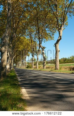Wriggly tree trunks and green and golden foliage cast shadows across typical plane tree lined French road