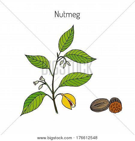 Kitchen spices. Nutmeg. Hand drawn vector illustration