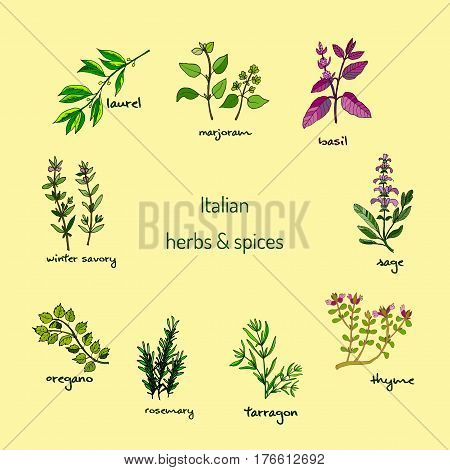 Italian herbs and spices - winter savory, laurel, marjoram, oregano, rosemary, sage, thyme basil tarragon Vector illustration