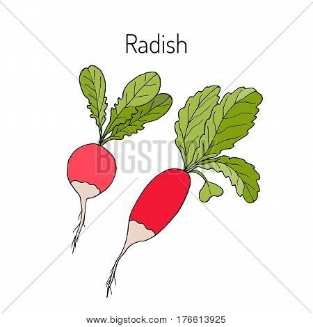 Radishes with leaves, vegetable collection, vector illustration