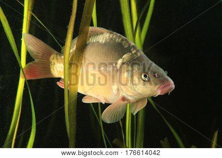 Common carp Cyprinus carpio fish swimming in the pond