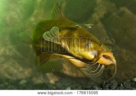 Black Bullhead Ictalurus melas catfish in the pond