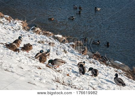 Wild ducks on the river bank of the River Morava in Litovel, Czech Republic in the snow