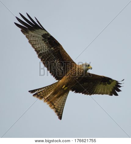 Red Kite flying in the sky at a farm in Wales