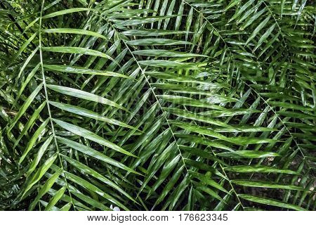 Lush green palm leaves in tropical forest. Photo processed in the style of oil painting.