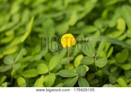 Arachis Glabrata / Rhizoma Perennial Peanut / Ornamental Peanut Grass