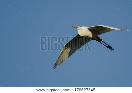 Great Egret Carrying a Caught Fish as it Flies in a Blue Sky