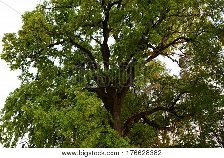 Majestic green crown of secular oak close-up