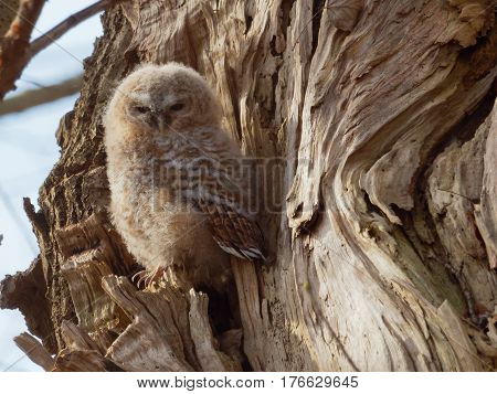 Young Tawny Owl in a tree (Strix Aluco)