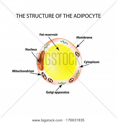 The anatomical structure of the fat cells. Adipocyte. Infographics. Vector illustration on isolated background.