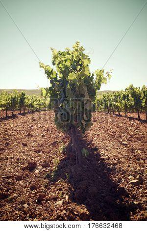 Vineyard in Paniza, Zaragoza province, Aragon, Spain