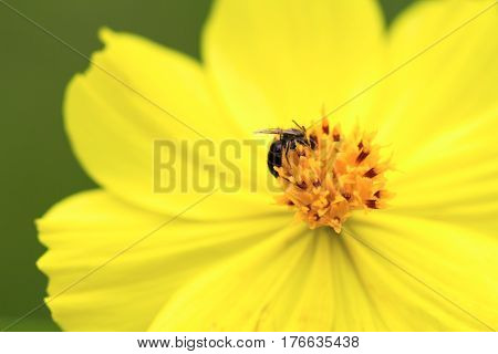 Yellow tropical flower with small fly in center. Flower stamen and petals macro photo. Blooming gerbera macro photo. Summer blossom in garden. Floral image for spring background or banner template
