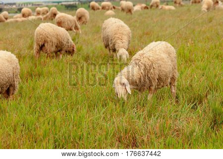 Flock of sheep grazing in a meadow with tall grasses