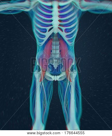 Human anatomy, psoas muscle, soul muscle, core strength, yoga, pilates. 3D illustration