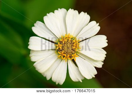Summer meadow flower with yellow stamen and white petals. Gerbera macro photo. Simple blooming daisy macro photo. Summer blossom in garden. Floral image for wedding background or banner template