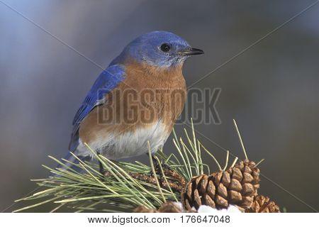 A male Eastern Bluebird, Sialia sialis on a pine branch in winter