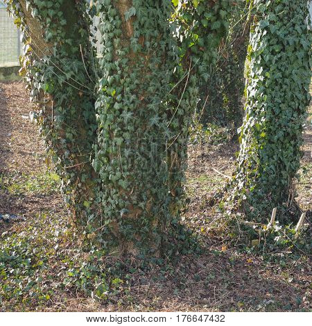 Green Ivy Plant On Tree