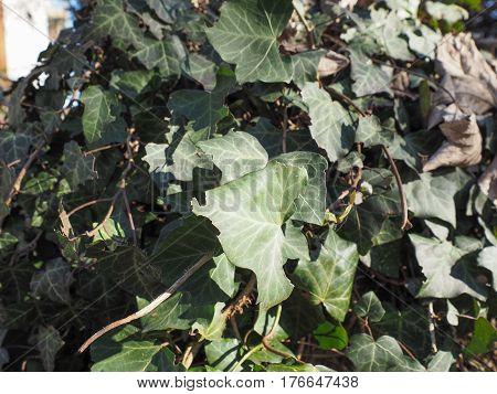 Green Ivy Plant