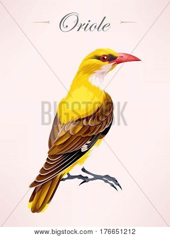 Vector illustration of high detailed oriole bird