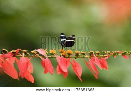Peruvian Sara Butterfly On A Tropical Flower In Nature, Color Image, Horizontal Image
