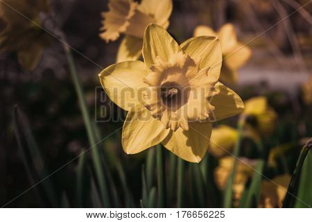 Yellow daffodils. Daffodils in spring. Spring flowers