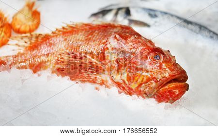 Marine red fish is on the ice on the counter of the store