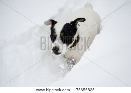 Happy and healthy active pets Cute white Dog playing in the snow seasonal winter animal background image with room for copy space or social sharing text message or hashtag