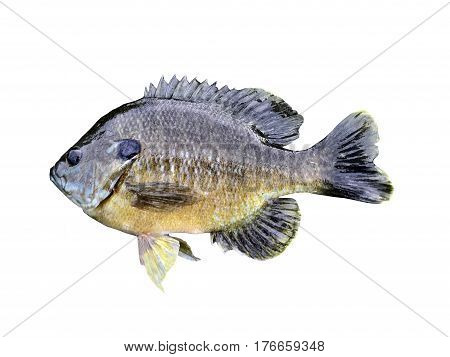 Bluegill isolated over a white background with a clipping path at original size