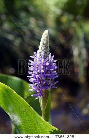 Pickerel weed (Pontederia cordata) blooms in a small, artificial lake in Joliet, Illinois during June.
