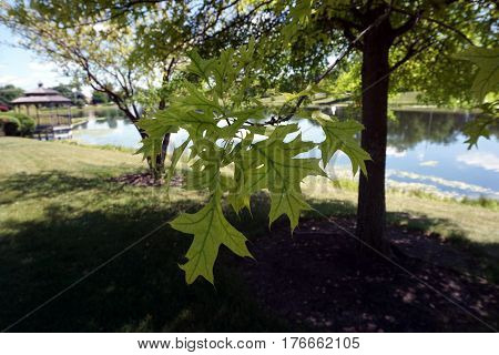 The leaves of a pin oak tree (Quercus palustris), also called the swamp Spanish oak, during June in Joliet, Illinois.