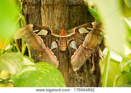 Atlas moth attacus atlas is the largest known species of moth in the world.