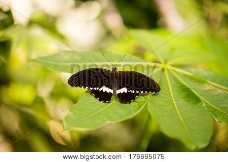 The (Eurasian) white admiral (Limenitis camilla) is a butterfly of the Nymphalidae family.
