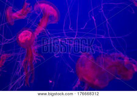 Many Pink Jellyfish On Blue Background