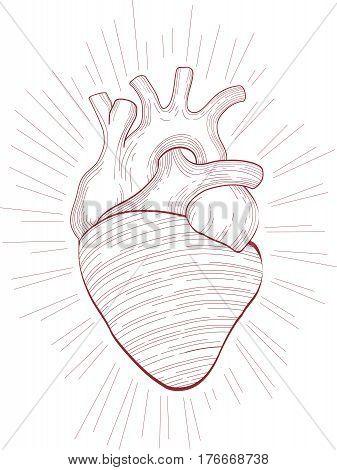 Hand Drawn Human Heart Anatomical Illustration Design