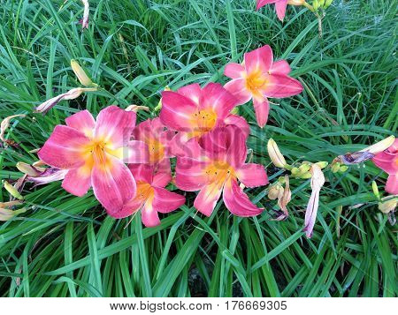 Tiger Lillies showing beautiful variegated pattern in landscaped garden