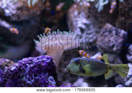 Boxfish And Clown Fishes In Aquarium , Sealife