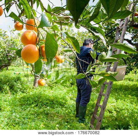 Orange harvest time; tarocco fruits and a picker in the background