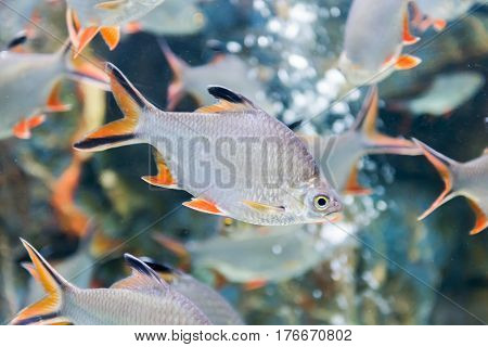 Tinfoil barb fish or Barbonymus schwanenfeldii fresh water fish in Thailand