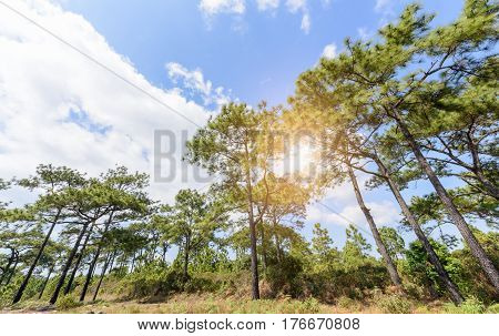pine forest with white cloudy and blue sky nature background