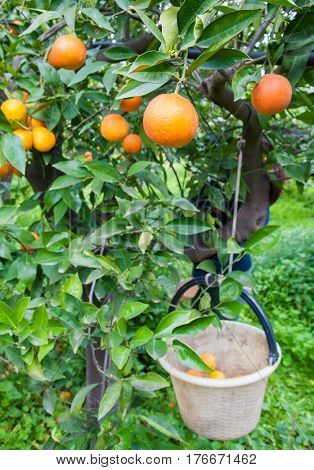 Orange Harvest Time
