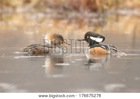 Pair of Hooded Merganser (Lophodytes cucullatus) swimming