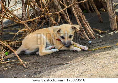 Small dog lays down on sand. Cute lovely dog puppy alone in backyard. Pale doggy with red collar. Lost dog on street. Tired kid resting after game. Hot summer weather and domestic animal. Lonely pet