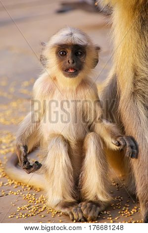 Baby gray langur sitting in Amber Fort near Jaipur Rajasthan India. Gray langurs are the most widespread langurs of South Asia. poster