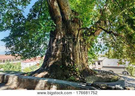 Giant Plane Tree In Telavi. Georgia
