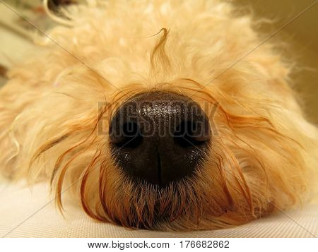 Close-up of poodle dog nose cute animal pet
