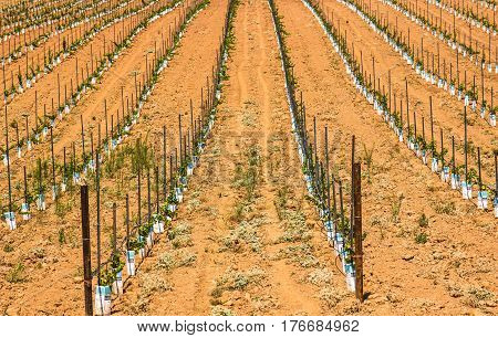 Freshly Planted Rows of Staked Grape Seedlings
