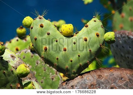 Galapagos Prickly Pear In Heart Shape On Rabida Island, Galapagos National Park, Ecuador
