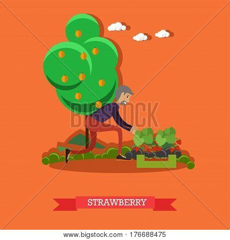 Gardening concept vector illustration. Gardener male picking strawberry flat style design element.