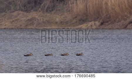 Four Eastern spot-billed ducks swimming together in a river with a soft blurred background of the river shoreline