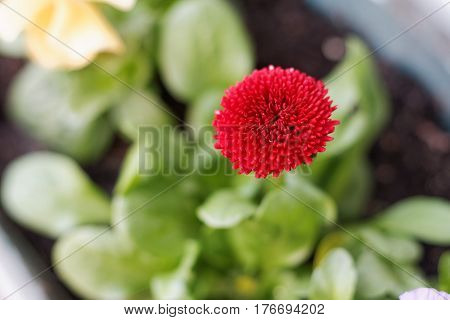 Red daisy flower blooming in the spring bellis